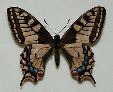 Papilioniae - Papilio machaon - Swallowtail - aberration - male