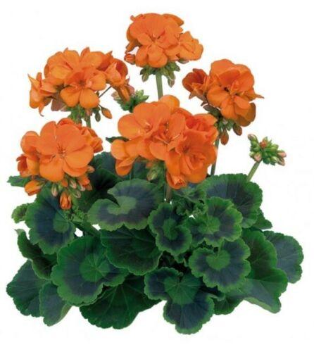 Géraniums orange