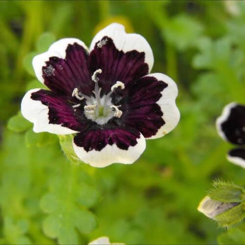 EASY ANNUAL-PERENNIAL PENNY BLACK NEMOPHILA aka PENNIE BLACK FLOWER SEEDS 50