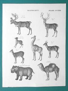 MAMMALS-Reindeer-Stag-Giraffe-Musk-Camel-River-Horse-1818-Antique-Print