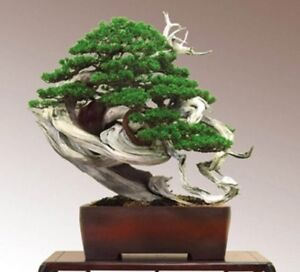 Rare-Juniper-Bonsai-Tree-Seeds-Japanese-Juniper-Bonsai-UK-Stock