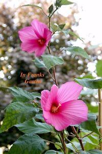 Hibiskus Große Blüten Riesenhibiskus Staudenhibiskus Pflanzen Und