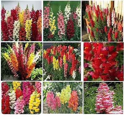 Red Ruby  Snapdragons   Beautiful Annual Flower     50 Seeds