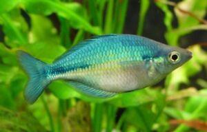 10 (dix) X Melanotaenia Lacustris (rainbowfish)-afficher Le Titre D'origine Ivthg0v9-10043657-664830656