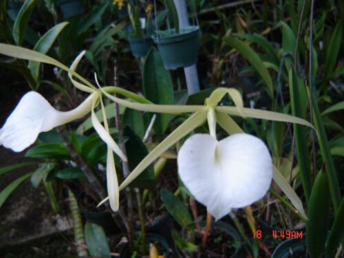 Orchid PLANT. Brassavola nodosa remar X-MAS mejor,