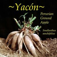 Purple Yacon Peruvian Ground Apple Crunchy Fruit From The Andes Live Plant