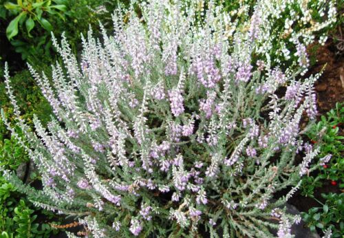 4 PACK 9cm Pot Heather Calluna Vulgaris Silver Knight Summer Autumn Upright