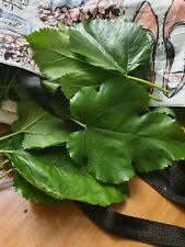 Organic authentic WHITE Mulberry Leaves - Silk Worm Shrimp Food fresh leaves TEA