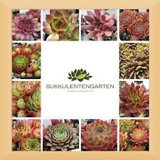 Dachwurz Desert Bloom Sempervivum cultorum