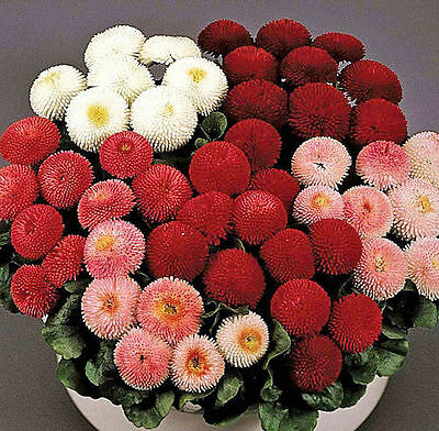 Flower Seeds Daisy pompons Bellis