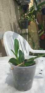 Cattleya-lueddemaniana-var-alba-seltene-weisse-Variante-aus-Suedamerika