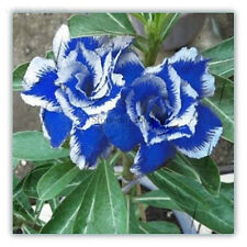 New Rare Blue Desert Rose (Adenium obesum) 2 Seeds