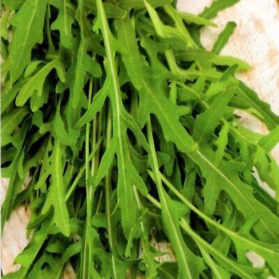 Salat Rukola Arugula seeds Rucola selvatica 2.000+ Samen Wilde Rauke