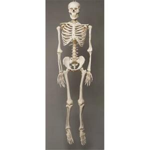 Skeletons-and-More-SM100D-2nd-Class-Life-Size-Harvey-in-Skeleton