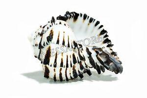 Black-Murex-Phyllonotus-erythrostomu-Hermit-Crab-Sea-Shell-5-034-6-034-1-pc-JC-35
