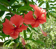 Hibiscus RARE 'Archeri'-Live Plant-Rosa-Senisis-Red Flowers Showering flowers!