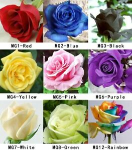 100-Rose-Seeds-Fresh-Colorful-China-Rare-Rose-Seed-Garden-Flower