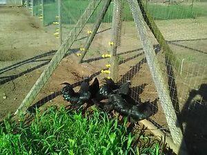 1 PURE AYAM CEMANI Hatching Egg NPIP CERTIFIED
