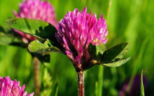 3000 Samen Rotklee Trifolium Pratense Wiesenklee Rot Klee