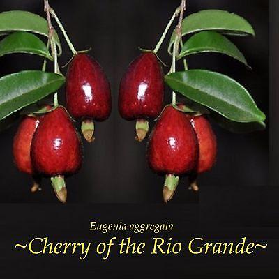 ~Cherry of the Rio Grande~ Eugenia aggregata FRUIT TREE 3-6+in Potd Small Plant