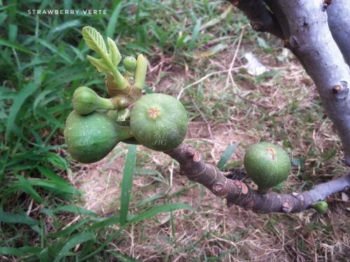 strawberry verte fig cuttings 3 pcs