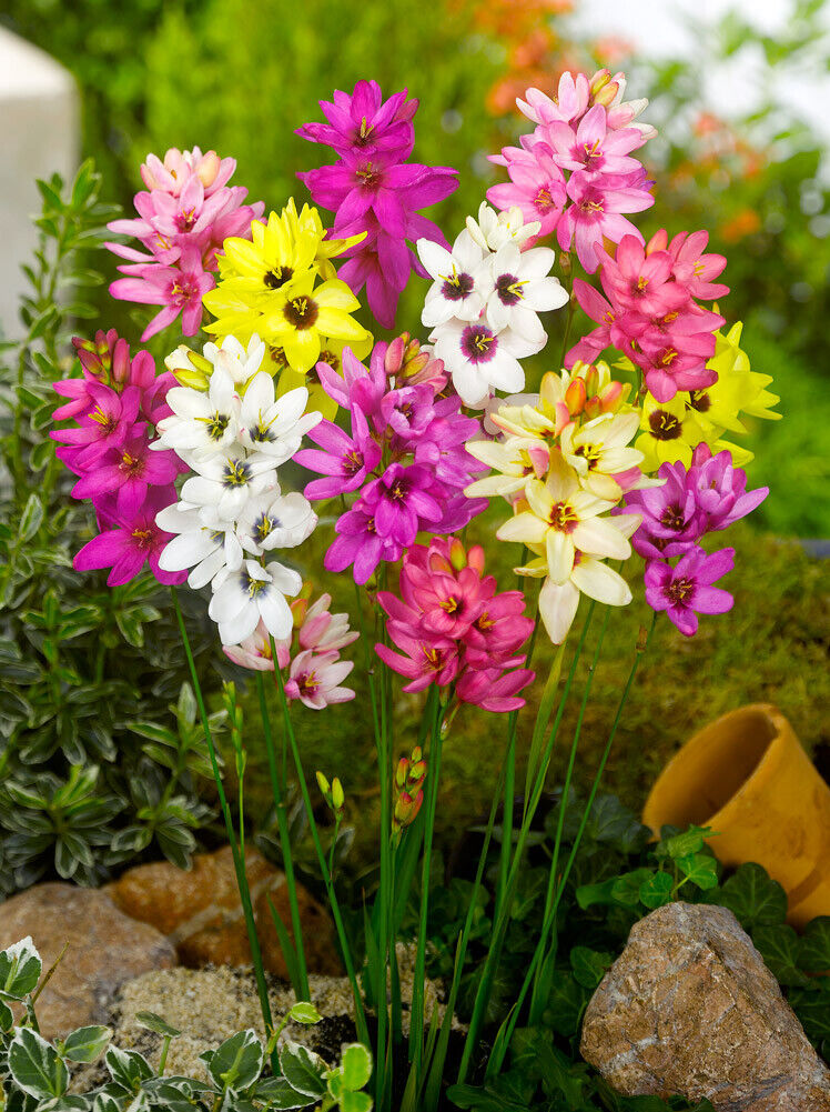 10 x IXIA MIXED BULBS garden spring flowers CORN PLANT LILIES floral CORMS HARDY