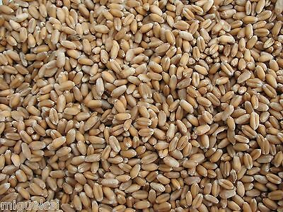 1 oz Wheatgrass Wheat Grass Seeds Great for Sprouting One Ounce Ships Free USA!