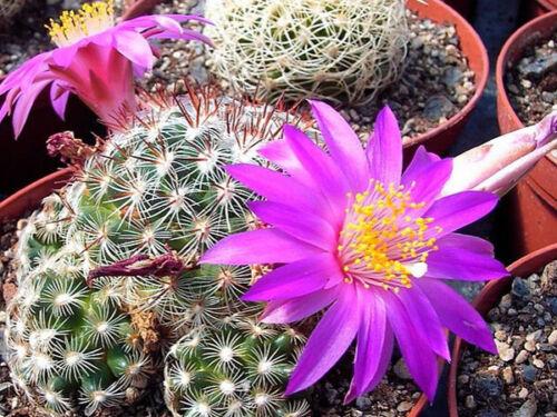 Mammillaria deherdtiana  10 seeds rare cactus korn graines samen