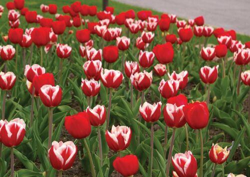 """5 Red White Tulip Bulbs /""""Hot Tamale/"""" Spring Flower Garden Flowers Perennial 23-5"""