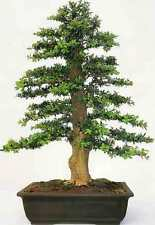 35 Caja común que las semillas (Buxus sempervirens) tres semillas que pueden utilizarse para Bonsai.