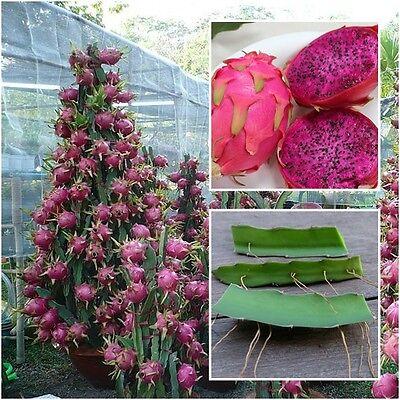 Red Dragon Fruit Live 3 Cutting Pitahaya Cactus Propagation Plant Edible Cacti