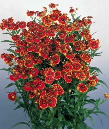 "AUTUMN SNEEZEWEED 100 seeds HELENIUM AUTUMNALE /""HELENA RED SHADES/"""