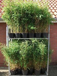 Bambus-China-Rohrgras-Fargesia-murielae-034-Jumbo-034-40-60-cm-hoch-im-5-Liter-Topf