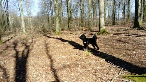 Storpuddel, hund, 2 år