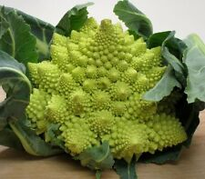Romanesco broccoli 100 seeds  Unusual form Broccoli * Edible * Ornamental CombSH