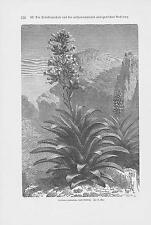 Aechmea paniculata Bromelioideae bromelien HOLZSTICH von 1898 Botanik