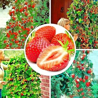 100 Graines De FRAISE OSTARA De Mon Jardin RARE !! Seeds