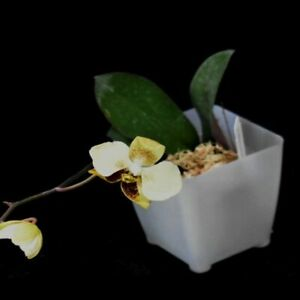 HN621.97 Phalaenopsis stuartiana var. nobilis Bare Root A296