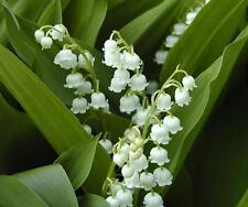 50+ White LILY OF THE VALLEY Fragrant Shade Plants PIPS Groundcover Cut Flowers