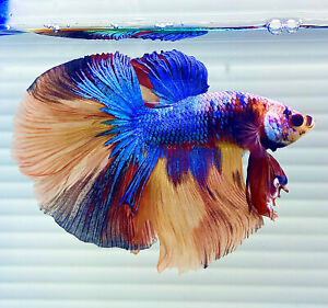 US SELLER (A-Grade) Male Candy Halfmoon Betta imported from Thailand