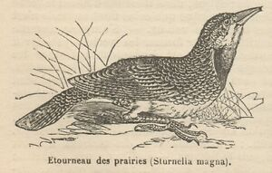 Brillant C8843 Sturnella Magna - Stampa Antica - 1892 Engraving Prix De Vente Directe D'Usine