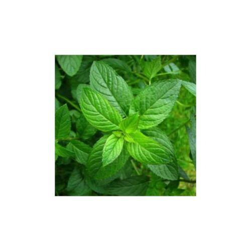 Menta piperita Mentha Piperita Semi Naturale 0.7 grammo seminare da 06//2022 allevatori di semi