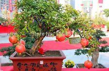 Rare Pomegranate Bonsai Tree seeds, Heirloom Fruit 20 Seeds, Bonsai tree seeds