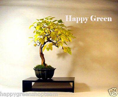 ATLANTIC NINEBARK - 50 seeds - Physocarpus opulifolius - Good for bonsai