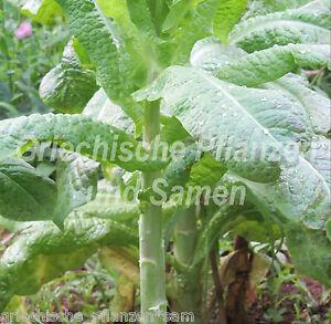 CELTUCE-Spargel-Salat-alte-Salat-Spezialitaet-50-Samen