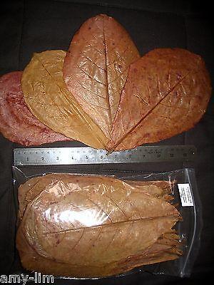 Discus Shrimp Modest Amy's 10 Large Premium Indian Almond Catappa Leaves Betta Pleco