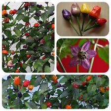 Chinese five color 5-Colour Chilli COLORATA chili mezzi affilato molto decorativa
