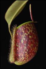 10 semi di  NEPENTHES AMPULLARIA TRICOLOR   semi di pianta carnivora