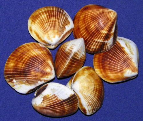 Polished-Brown-Cockle-Shell-Paired-Pecten-Clam-Craft-Seashell-1-1-4-034-10-Pcs