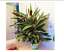 50-Very-Rare-Thailand-Calathea-Flower-Seeds-Holiday-Peacock-Plant-Low-Light thumbnail 1